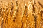 Golden wheat background — Stock Photo
