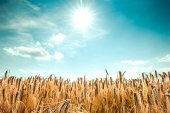 Wheat field under blue summer sky — Stock Photo