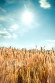 Wheat field under blue summer sky — Stock Photo