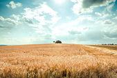 Golden summer field — Stock Photo