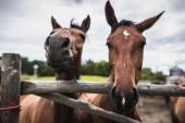 Deux chevaux bouchent — Photo