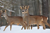 Roe deer herd — Stock Photo