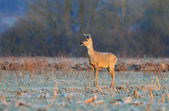 Roe deer in the morning — Stock Photo