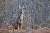 Roe deer — Stockfoto