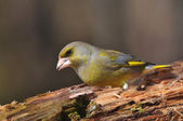 Greenfinch — Stock Photo