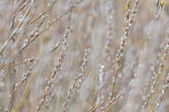 Nature background - catkins, shallow depth of field — Stock Photo