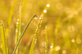 Morning dew on a grass — Stock Photo