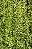 Mur végétal, fond vert. — Photo