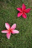 Red frangipani on grass — Stockfoto