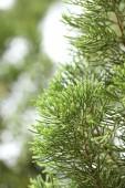Branch of pine tree — Stock Photo