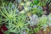 Miniature succulent plants, garden in tray, fullframe — Stock Photo