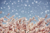 Cherry blossoms and blue sky with snow fall, selected focus. — Stock Photo