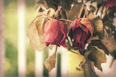Wither rose, died rose — Stock Photo
