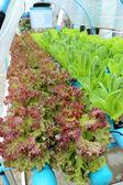 Organic hydroponic vegetable garden. — Stock Photo