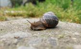 Snail on green garden — Stock Photo