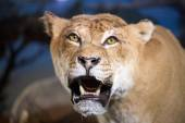Close-up shot of roaring lion — Stock Photo