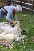 Shearing Sheep — Stock Photo