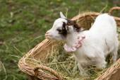 Cute baby goat in a bag — Stok fotoğraf
