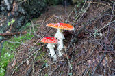 Two spotted toadstools in the woods — Stock Photo