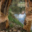 Traces of beavers in bavaria — Stock Photo #70489037