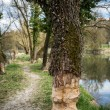 Traces of beavers in bavaria — Stock Photo #70489563
