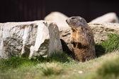 Roliga murmeldjur — Stockfoto