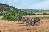 Zebras. Pilanesberg national park. South Africa. December 7, 2014 — Stock Photo