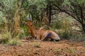 Impala, Pilanesberg national park. South Africa. December 7, 2014 — Stock Photo
