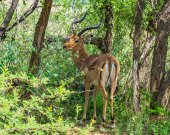 Impala, Pilanesberg national park. South Africa. December 7, 2014 — Stock Photo