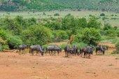 Wildebeest, Pilanesberg national park. South Africa. — Stock Photo