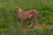Cheetah, South Africa. — Stock Photo