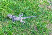 Chameleon,  South Africa — Stock Photo