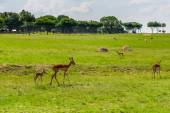 Antelope. South Africa. — Stock Photo