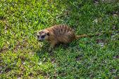 Meerkat, Suricata. Zuid-Afrika. — Stockfoto