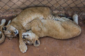 White lion cubs, South Africa. — Stok fotoğraf