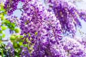 Whisteria blooms — Foto de Stock