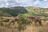 Giraffe, Pilanesberg national park. South Africa. — Stock Photo
