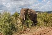 Elephant. Pilanesberg national park. South Africa. — Stock Photo