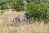 Zebra. Pilanesberg national park. South Africa. — Stock Photo