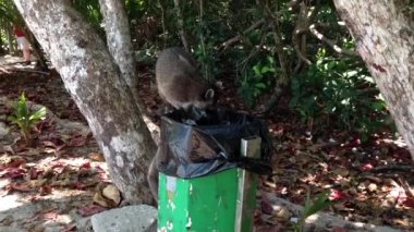Raccoons picking food out of the trash bin — Stok video