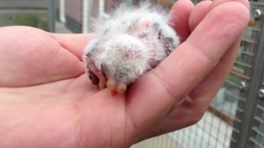 Young born canary on a hand in The Netherlands — Stockvideo