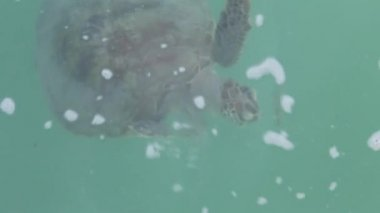 Turtle under water at Monkey Mia reserve, Shark Bay National park, Western Australia — Stock Video