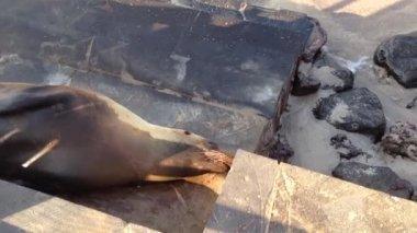 Sea lion to beach in San Cristobal Galapagos Islands, Ecuador — Vídeo Stock