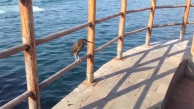 Bird at the boulevard in San Cristobal, Galapagos Islands, Ecuador — Stock Video