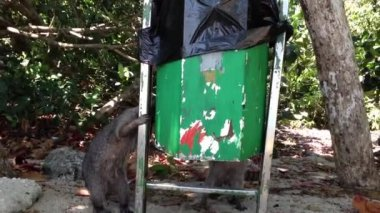 Raccoons picking food out of  the trash bin — Vídeo Stock