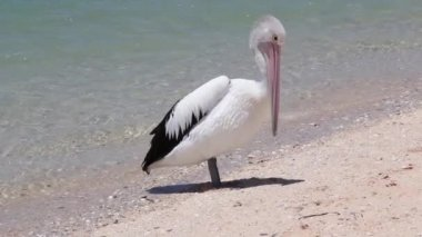 Pelican at the beach in Monkey Mia reserve, Shark Bay National park, Western Australia — Stock Video