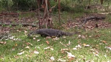 Lizard, goanna searching for food in a park in Australia — Stock Video