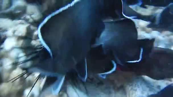 Buceo en la isla de Pascua, rapa nui — Vídeo de stock