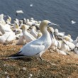 Northern Gannet on Helgoland islands — Stock Photo #58419617