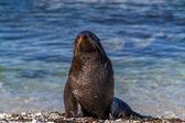 Seal looking at camera — Stock Photo